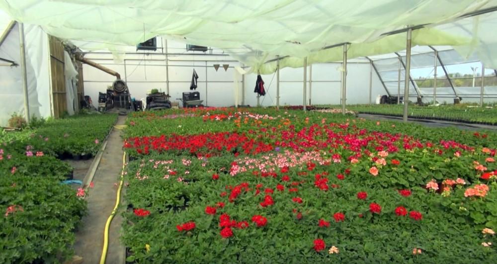 Cvijeće Kemperovih je zaštićeno u grijanim plastenicima