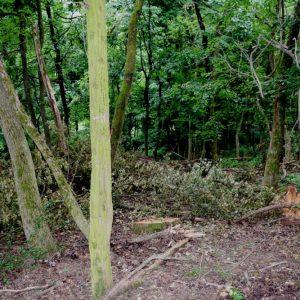 Uhvaćen još jedan kradljivac: 27-godišnjak u par dana posjekao 52 stabla